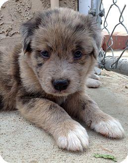 Australian Shepherd/St. Bernard Mix Puppy for adoption in Inglewood, California - DAKOTA