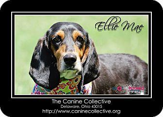 Basset Hound/Beagle Mix Dog for adoption in Delaware, Ohio - Ellie Mae
