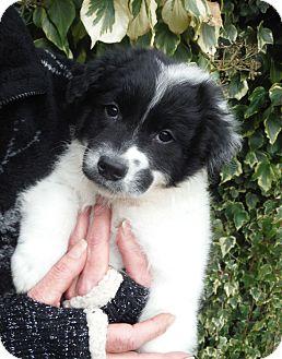 Border Collie/Australian Shepherd Mix Puppy for adoption in Snoqualmie, Washington - Stewart
