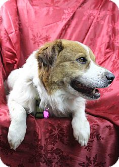 Australian Shepherd/Australian Cattle Dog Mix Dog for adoption in Westminster, Colorado - Nigel