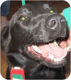 Labrador Retriever/Retriever (Unknown Type) Mix Dog for adoption in Dripping Springs, Texas - Keely