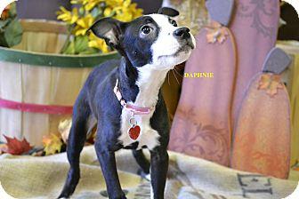 Cattle Dog Mix Puppy for adoption in Higley, Arizona - DAPHNEY