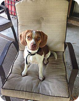 Beagle Mix Dog for adoption in Muldrow, Oklahoma - Wendy
