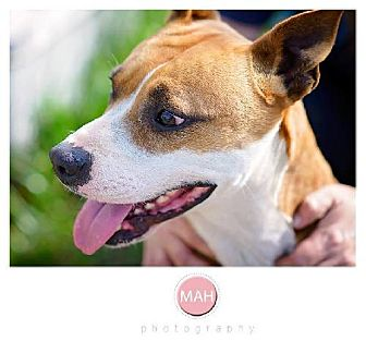Boxer Mix Dog for adoption in Tallahassee, Florida - Grady