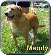 Labrador Retriever/Golden Retriever Mix Dog for adoption in Aldie, Virginia - Mandy