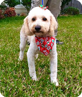 Poodle (Miniature) Mix Dog for adoption in Conroe, Texas - Joy