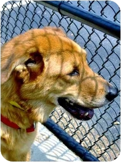 Shepherd (Unknown Type)/Collie Mix Dog for adoption in Inman, South Carolina - Bob