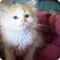 Adopt A Pet :: Amie - Xenia, OH