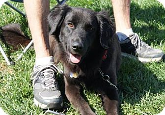 Retriever (Unknown Type) Mix Dog for adoption in Parkville, Missouri - Tufts