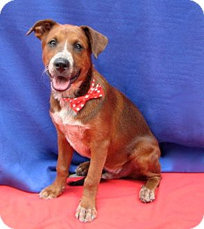 Australian Cattle Dog/Retriever (Unknown Type) Mix Puppy for adoption in Irvine, California - Uncle Sam