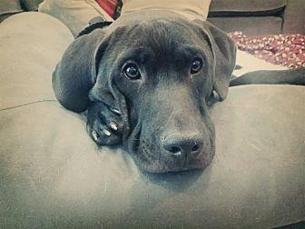 Labrador Retriever Mix Dog for adoption in Dallas, Texas - Reba