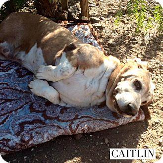 Basset Hound Dog for adoption in Acton, California - Caitlin