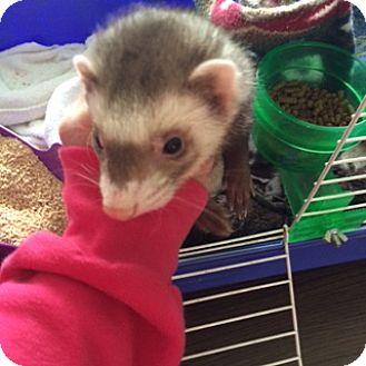 Ferret for adoption in Middle Island, New York - Josephine