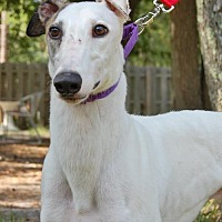 Greyhound Dog for adoption in Cherry Hill, New Jersey - Finnegan