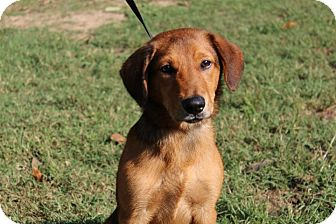 Labrador Retriever/Golden Retriever Mix Puppy for adoption in Conway, Arkansas - Red