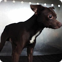 Adopt A Pet :: BROWNIE - Upper Sandusky, OH