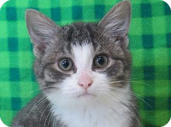 Domestic Shorthair Kitten for adoption in Lloydminster, Alberta - Evina