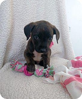 Boxer/Labrador Retriever Mix Puppy for adoption in Newark, Delaware - Melly