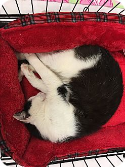 Domestic Shorthair Cat for adoption in Simpsonville, South Carolina - Max