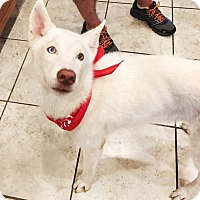 Adopt A Pet :: Adonis - Clearwater, FL
