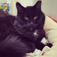 Domestic Longhair/Domestic Shorthair Mix Cat for adoption in Hastings, Minnesota - Mr. Kitty
