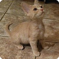 Adopt A Pet :: Gingie - Encinitas, CA