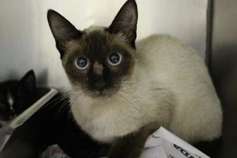 Siamese/Domestic Shorthair Mix Cat for adoption in Cleveland, Alabama - Sialooise