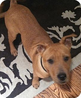 Pit Bull Terrier/Shepherd (Unknown Type) Mix Dog for adoption in Houston, Texas - Stryker