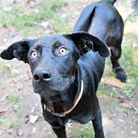 Adopt A Pet :: Simon - Harrisburg, PA