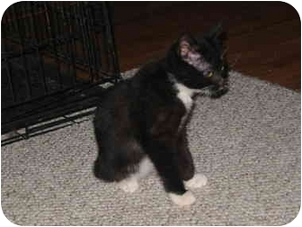Domestic Mediumhair Kitten for adoption in Amarillo, Texas - Thumbelina (tummy)