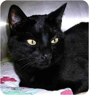 Domestic Shorthair Cat for adoption in San Clemente, California - NICKI