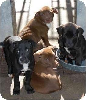 Labrador Retriever Mix Puppy for adoption in Inman, South Carolina - Niles, Hickory, Belize
