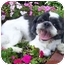 Photo 2 - Lhasa Apso Mix Dog for adoption in Los Angeles, California - FUJI