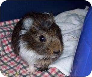 Guinea Pig for adoption in Fullerton, California - Spike
