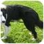 Photo 2 - Border Collie Dog for adoption in San Pedro, California - KARMA