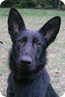German Shepherd Dog Dog for adoption in Nashville, Tennessee - Sasha