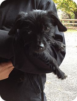 Terrier (Unknown Type, Small) Mix Puppy for adoption in Spring City, Pennsylvania - Nasty Girl