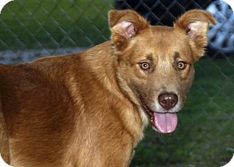 Golden Retriever Mix Dog for adoption in Huntsville, Alabama - Pierce