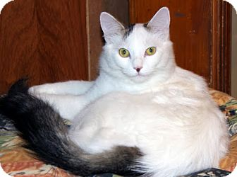 Domestic Mediumhair Cat for adoption in Alexandria, Virginia - Plum