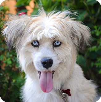 Terrier (Unknown Type, Medium) Mix Puppy for adoption in Encino, California - Bella