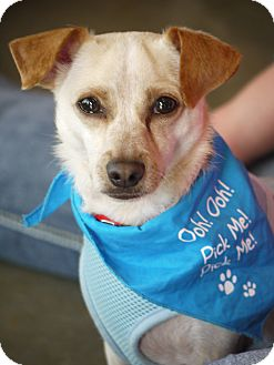 Chihuahua/Terrier (Unknown Type, Small) Mix Dog for adoption in Baton Rouge, Louisiana - Scooter