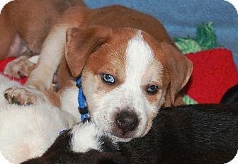 Australian Shepherd/Terrier (Unknown Type, Medium) Mix Puppy for adoption in Homewood, Alabama - Nemo
