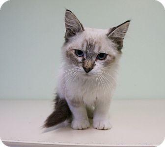 Siamese Kitten for adoption in Murphysboro, Illinois - Royce