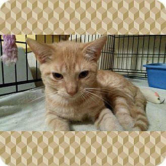 Domestic Shorthair Kitten for adoption in Dallas, Pennsylvania - Puss n Boots