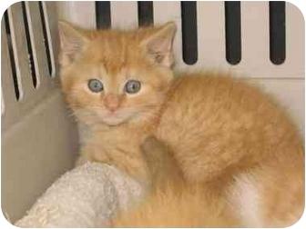 Domestic Shorthair Kitten for adoption in Cincinnati, Ohio - Cheddar, Macaroni & Colby