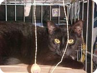 Domestic Shorthair Cat for adoption in East Brunswick, New Jersey - Errol