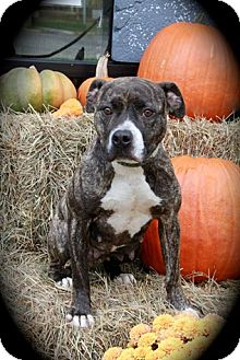 Terrier (Unknown Type, Medium) Mix Dog for adoption in Brookhaven, New York - Nayla