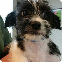 Adopt A Pet :: Carter - adorable puppy! - Phoenix, AZ
