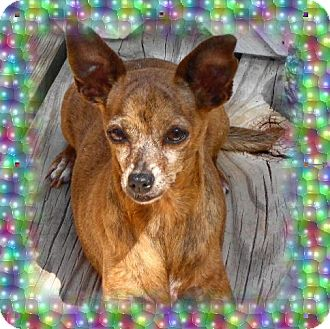 Chihuahua Dog for adoption in Festus, Missouri - #26 Tilly located in MO