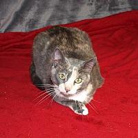 Domestic Shorthair Cat for adoption in Jackson, Mississippi - Gigi